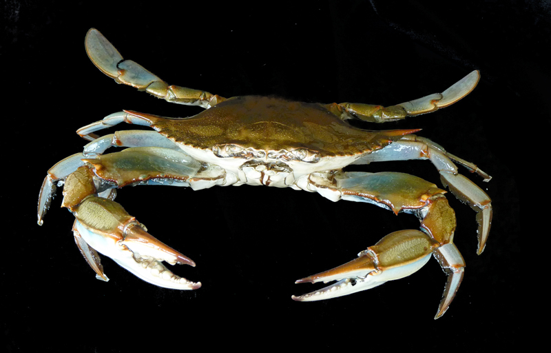 best Maryland blue crab taxidermy in the world