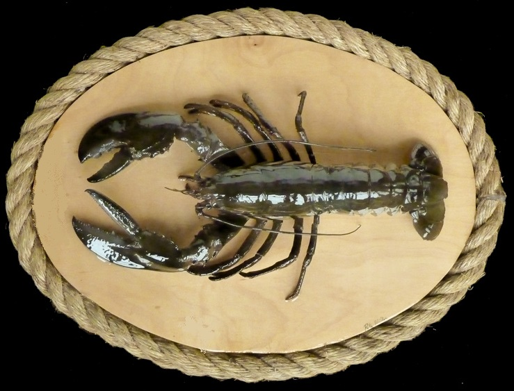 maine lobster mounted on oval plaque great wall decor for the New England shore