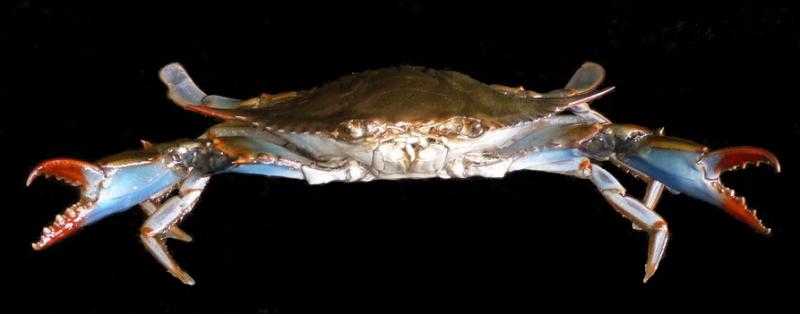 world's finest painted blue crab taxidermy