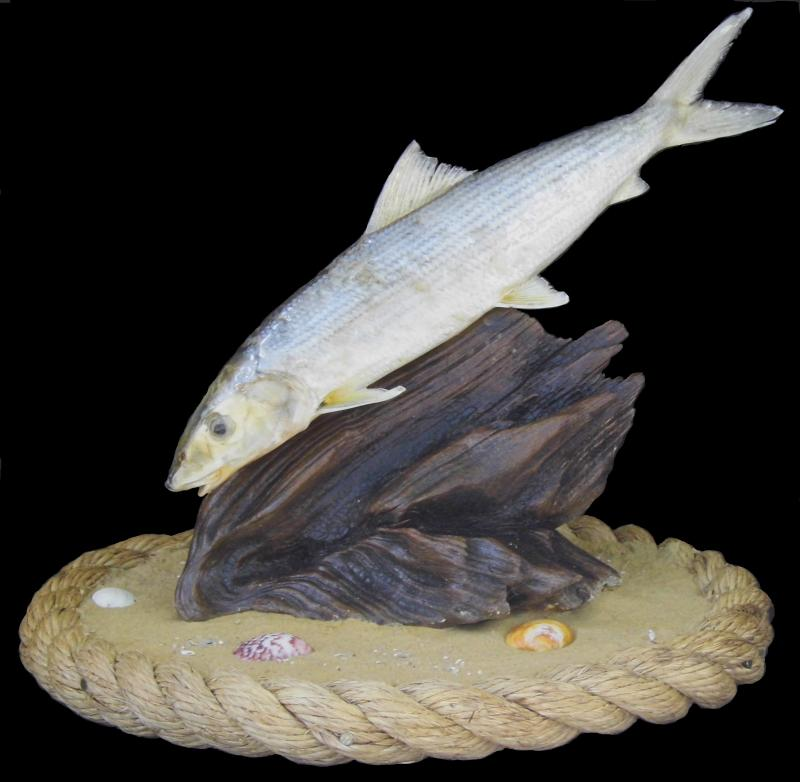 Bone Fish Taxidermy