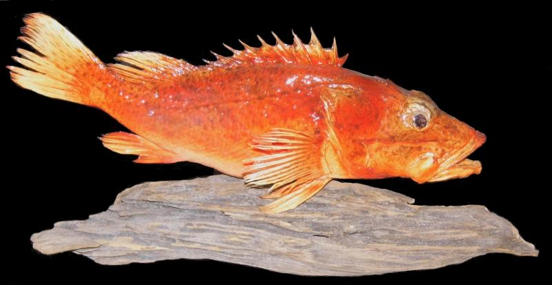 Scorpion Fish Taxidermy